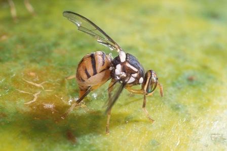 Kết quả hình ảnh cho ruồi đục lá
