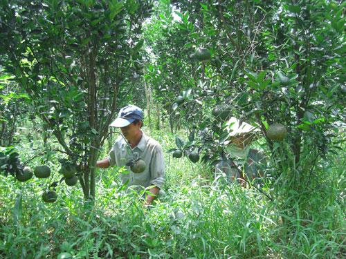 Kỹ thuật bón phân cho cây Cam